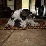 Buldog Angielski, English Bulldog